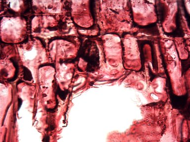 URTICACEAE Boehmeria rugulosa