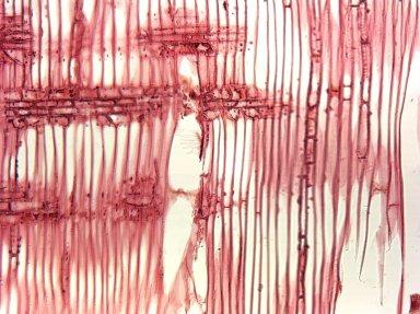 STYRACACEAE Halesia tetraptera