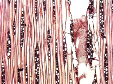 LEGUMINOSAE MIMOSOIDEAE Stryphnodendron polystachyum