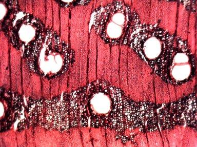 LEGUMINOSAE MIMOSOIDEAE Pentaclethra macrophylla