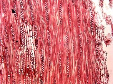LEGUMINOSAE CAESALPINIOIDEAE Libidibia coriaria