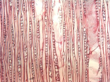 LYTHRACEAE Sonneratia caseolaris