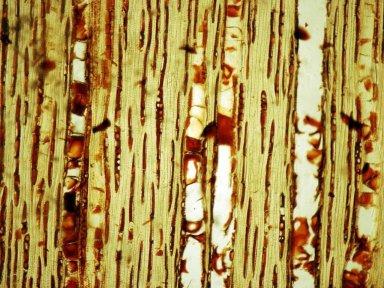 BONNETIACEAE Bonnetia cubensis