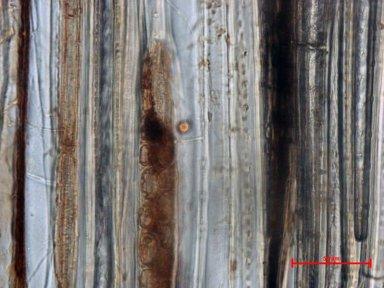 CYRILLACEAE Cyrilla racemiflora