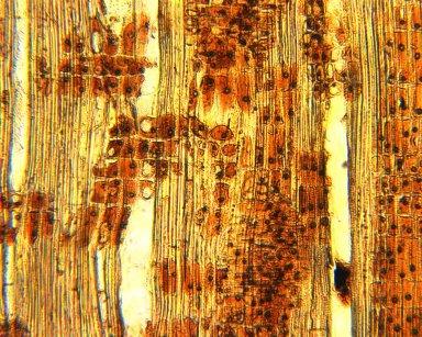 OCHNACEAE Lacunaria macrostachya