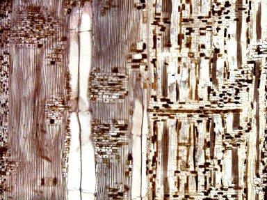 MYRISTICACEAE Myristica globosa