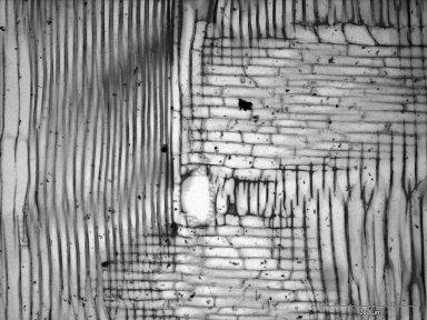 ARALIACEAE Dendropanax morbiferus