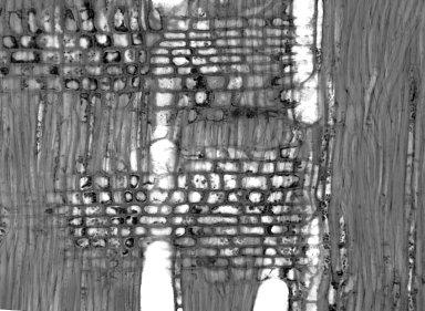 ROSACEAE Oemleria cerasiformis