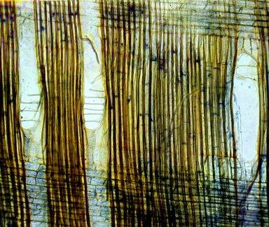 ARALIACEAE Dendropanax macrocarpus