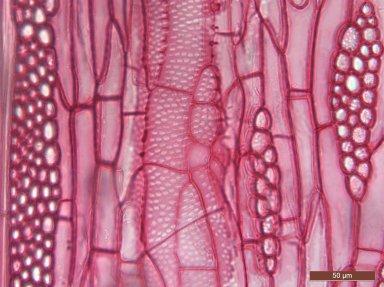 LEGUMINOSAE CAESALPINIOIDEAE Gleditsia amorphoides