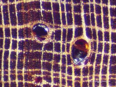 LEGUMINOSAE PAPILIONOIDEAE Dalbergia bariensis