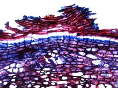 MALPIGHIACEAE Stigmaphyllon blanchetii