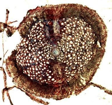 MALPIGHIACEAE Stigmaphyllon auriculatum