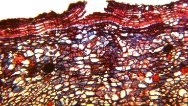 MALPIGHIACEAE Stigmaphyllon palmatum