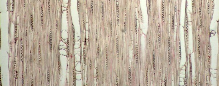 APOCYNACEAE Aspidosperma polyneuron