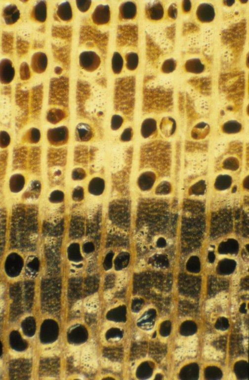 BORAGINACEAE Ehretia acuminata