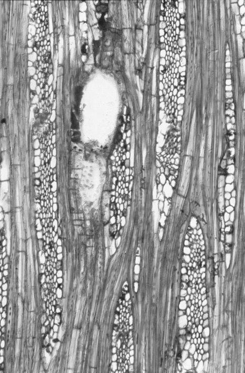 DIPTEROCARPACEAE Anisoptera scaphula