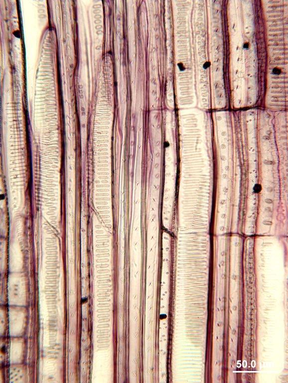 ILLICIACEAE Illicium floridanum