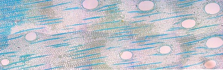 LEGUMINOSAE CAESALPINIOIDEAE Mimosoid Clade Enterolobium cyclocarpum