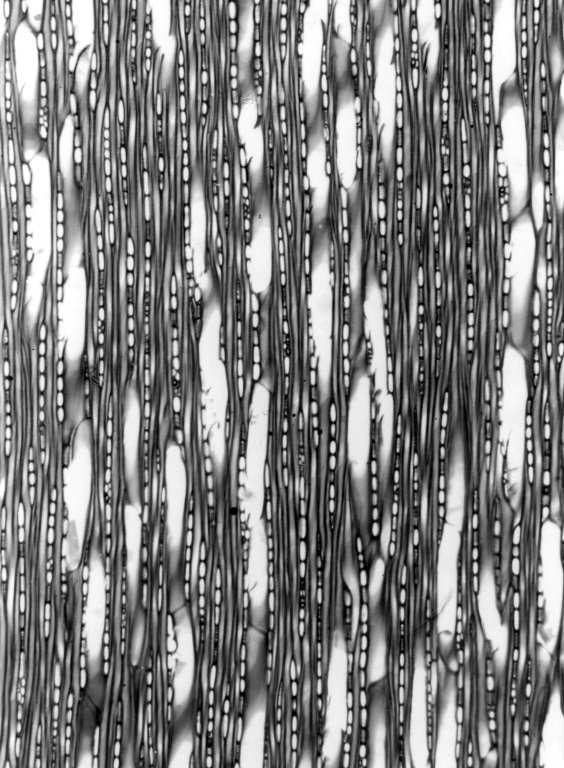 APOCYNACEAE Strophanthus boivinii