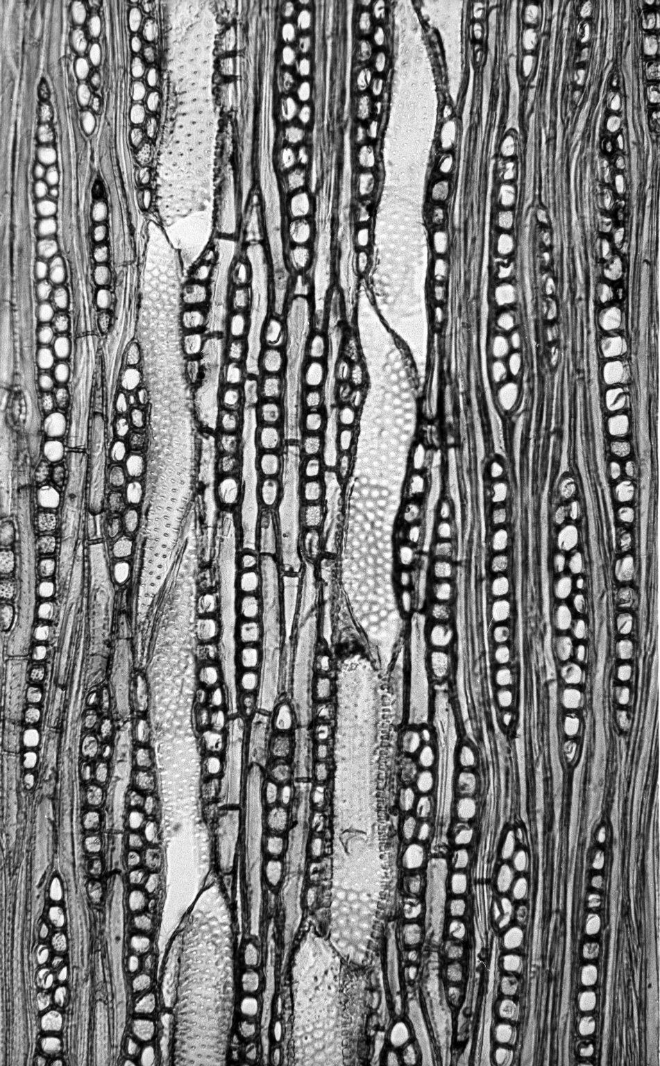 BIGNONIACEAE Jacaranda cuspidifolia