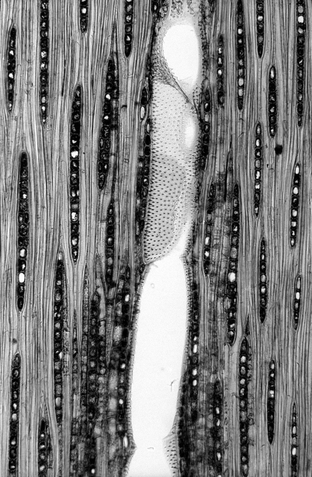BIGNONIACEAE Jacaranda obtusifolia