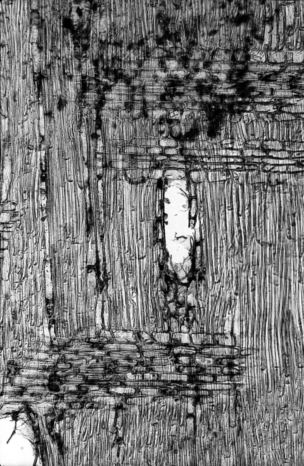 BIGNONIACEAE Markhamia zanzibarica