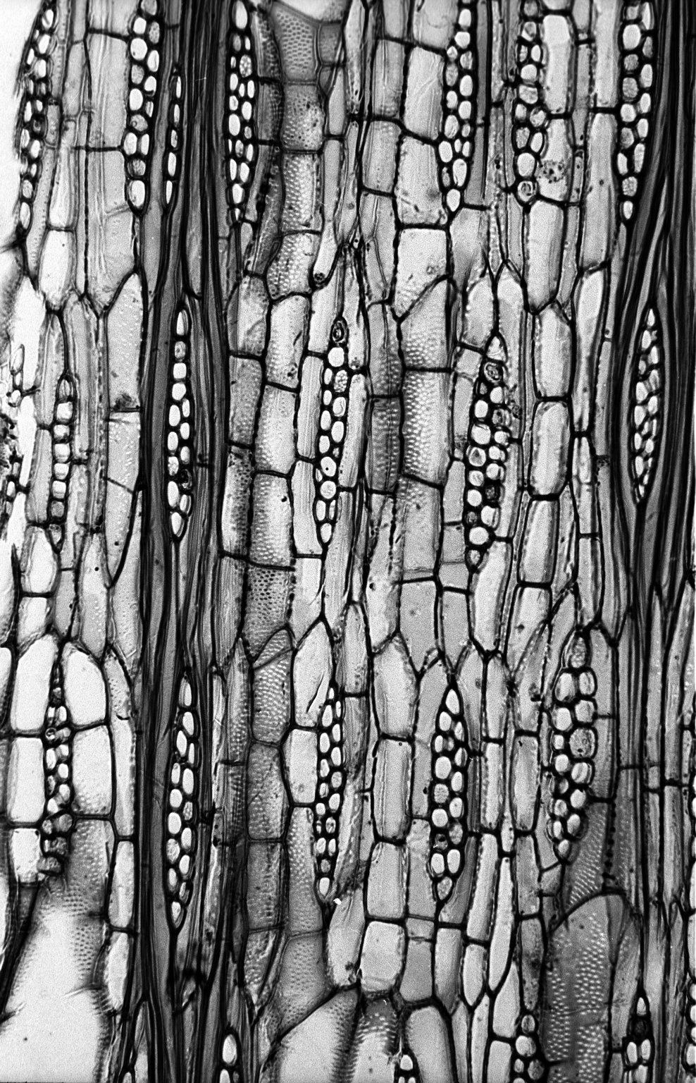 BIGNONIACEAE Handroanthus impetiginosus