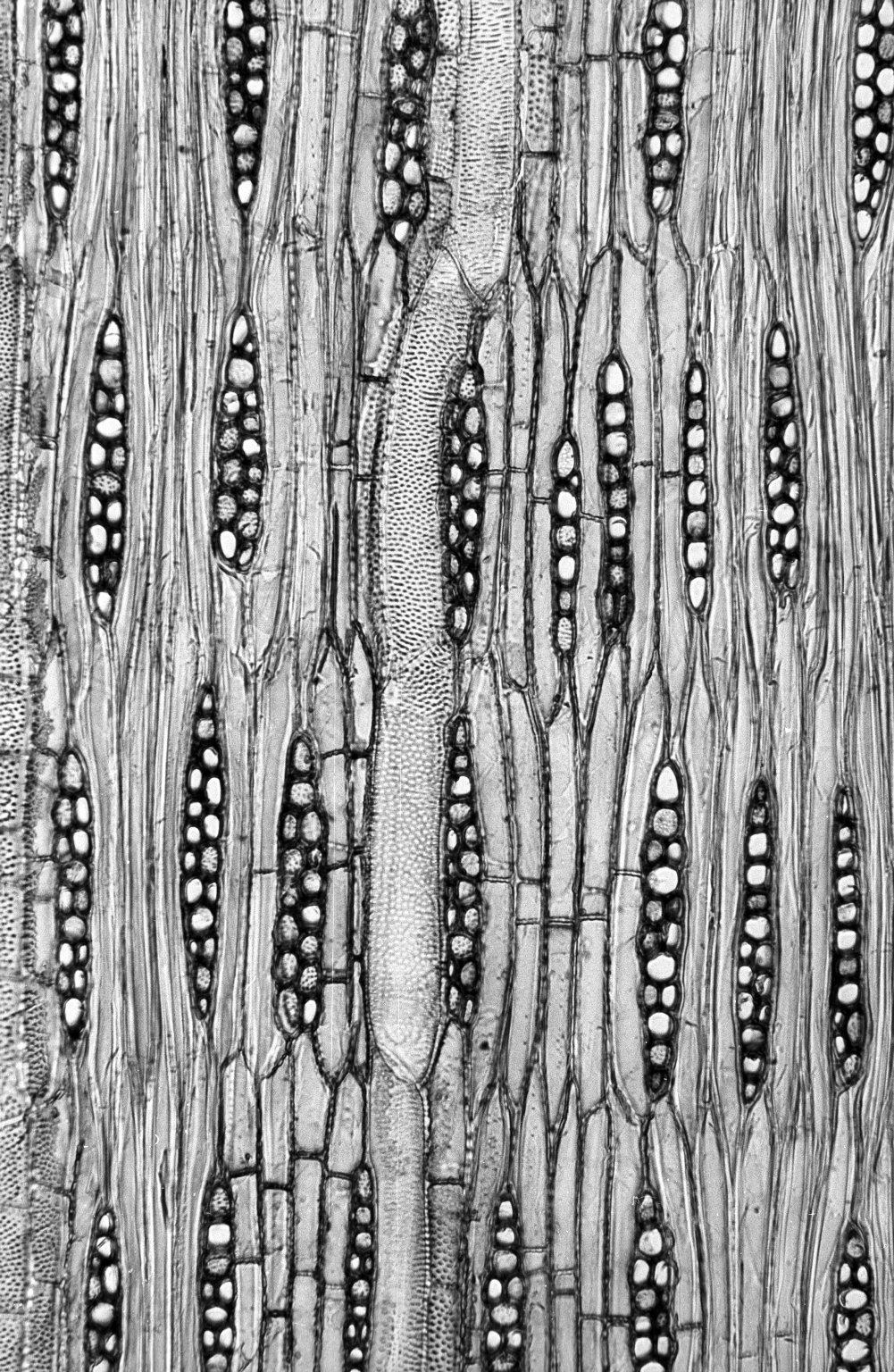 BIGNONIACEAE Tabebuia pallida