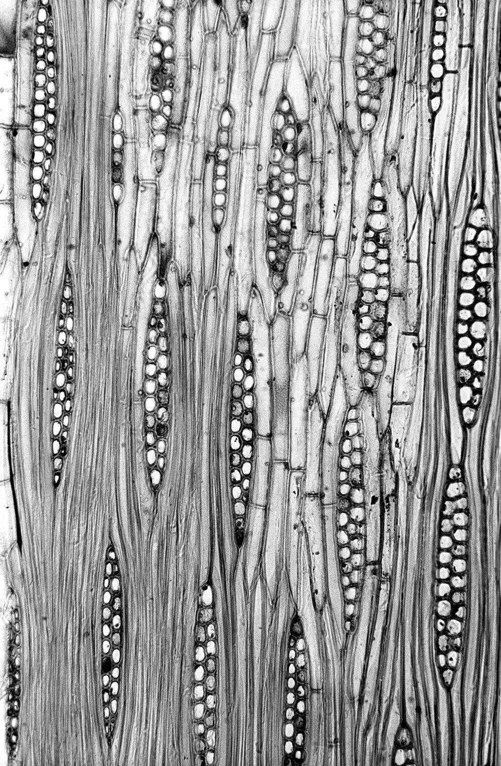 BIGNONIACEAE Tabebuia rosea