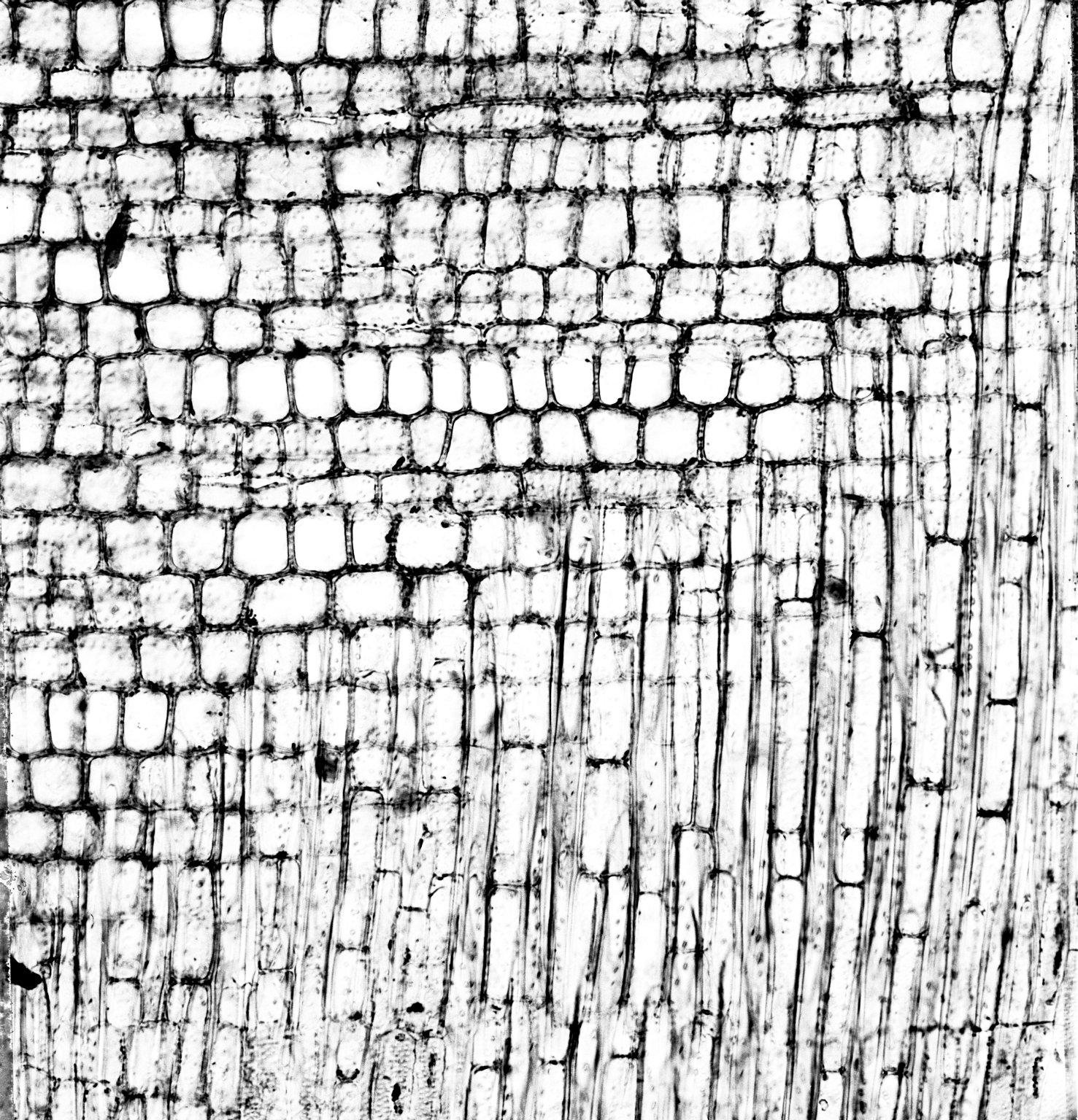 MALVACEAE BOMBACOIDEAE Phragmotheca mammosa