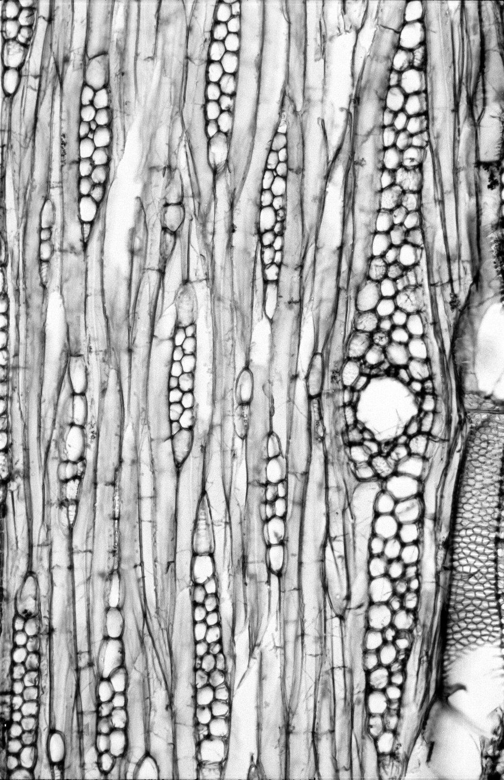 BURSERACEAE Commiphora africana