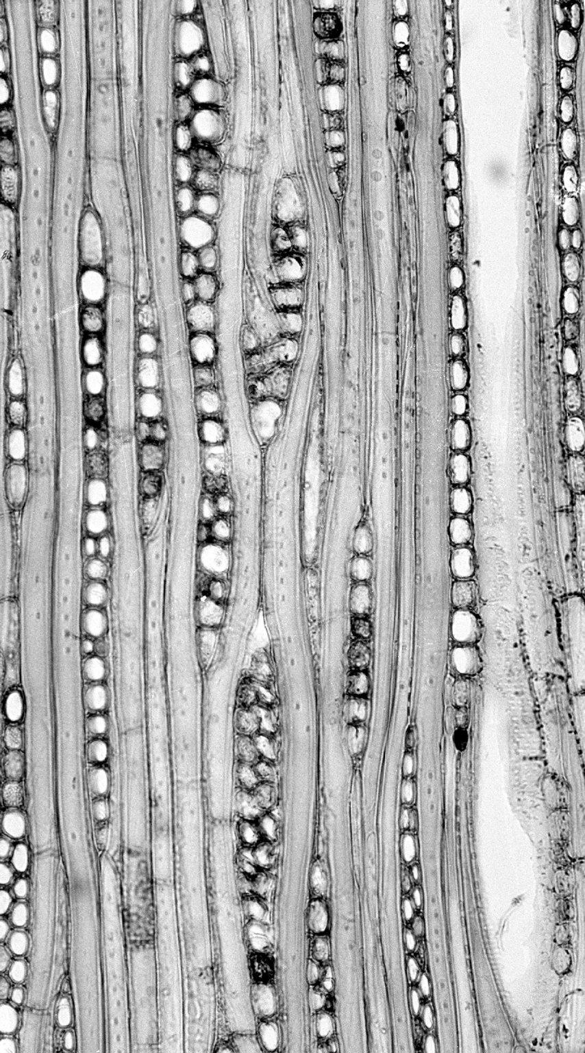 CANELLACEAE Capsicodendron dinisii