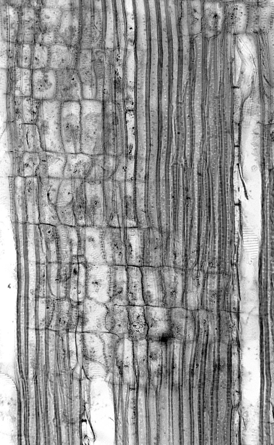 COLUMELLIACEAE Columellia oblonga