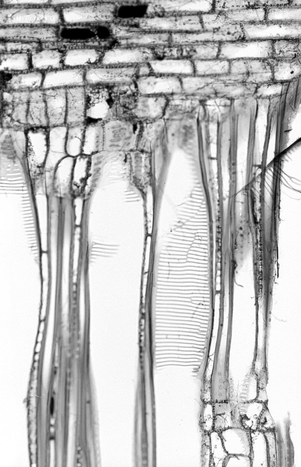 CORNACEAE Mastixia trichotoma