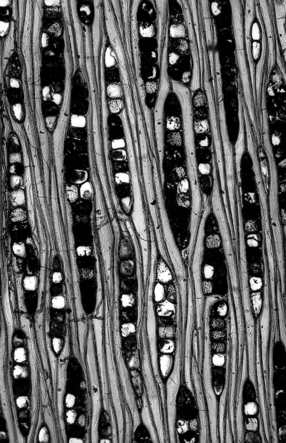 ANACARDIACEAE Anacardium occidentale