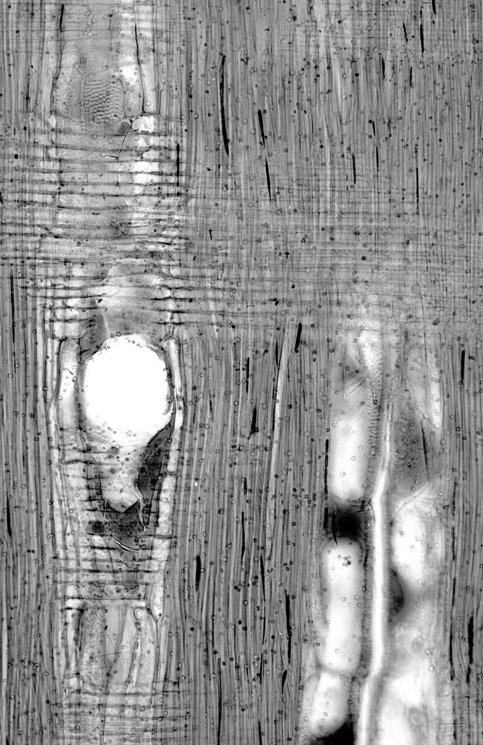 LEGUMINOSAE CAESALPINIOIDEAE Caesalpinia echinata