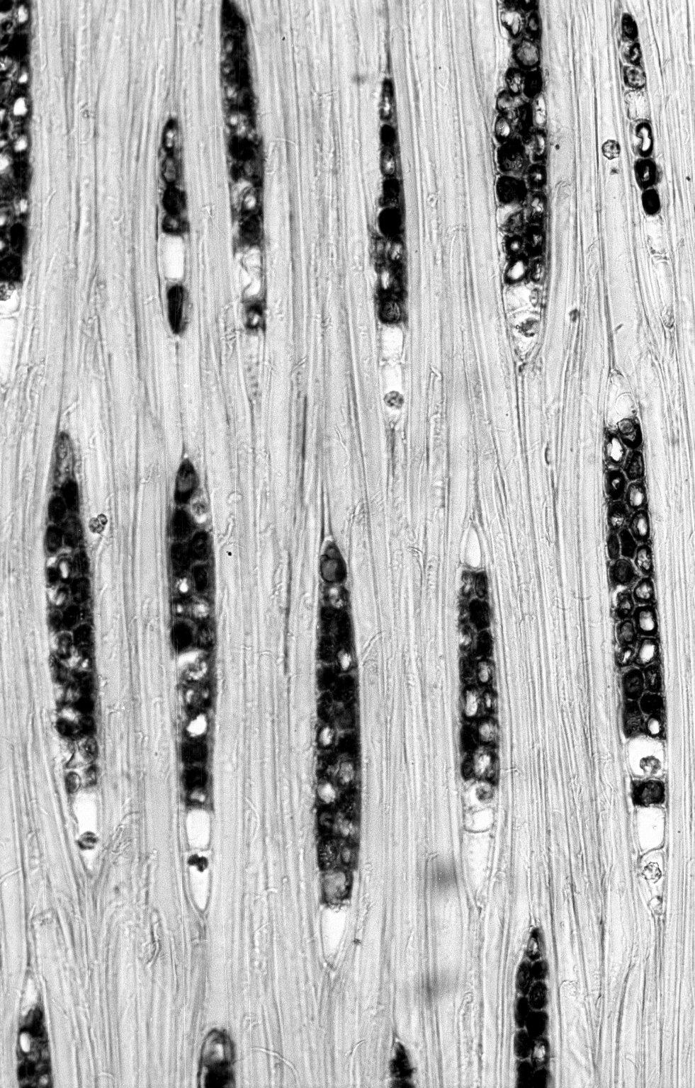 LEGUMINOSAE DIALIOIDEAE Dicorynia paraensis