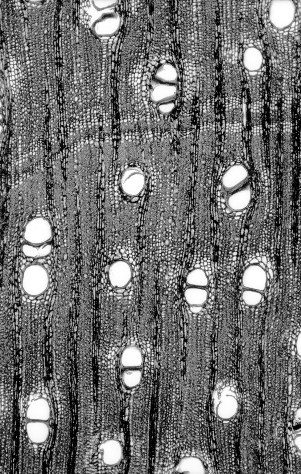 LEGUMINOSAE DETARIOIDEAE Hardwickia binata
