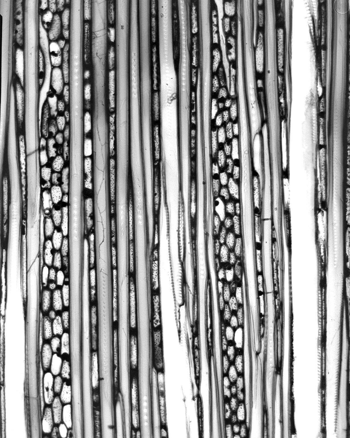 DILLENIACEAE Schumacheria castaneifolia