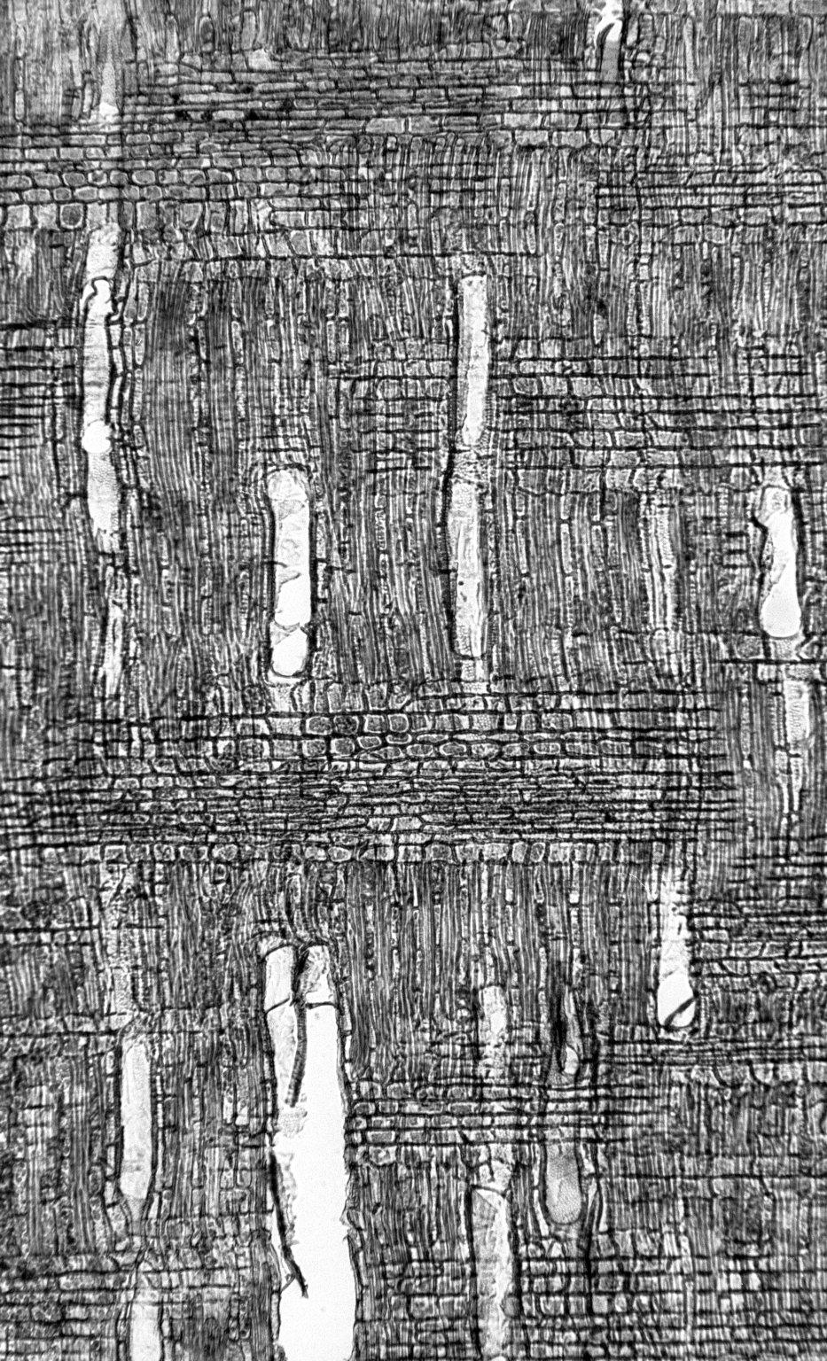 EBENACEAE Diospyros egrettarum
