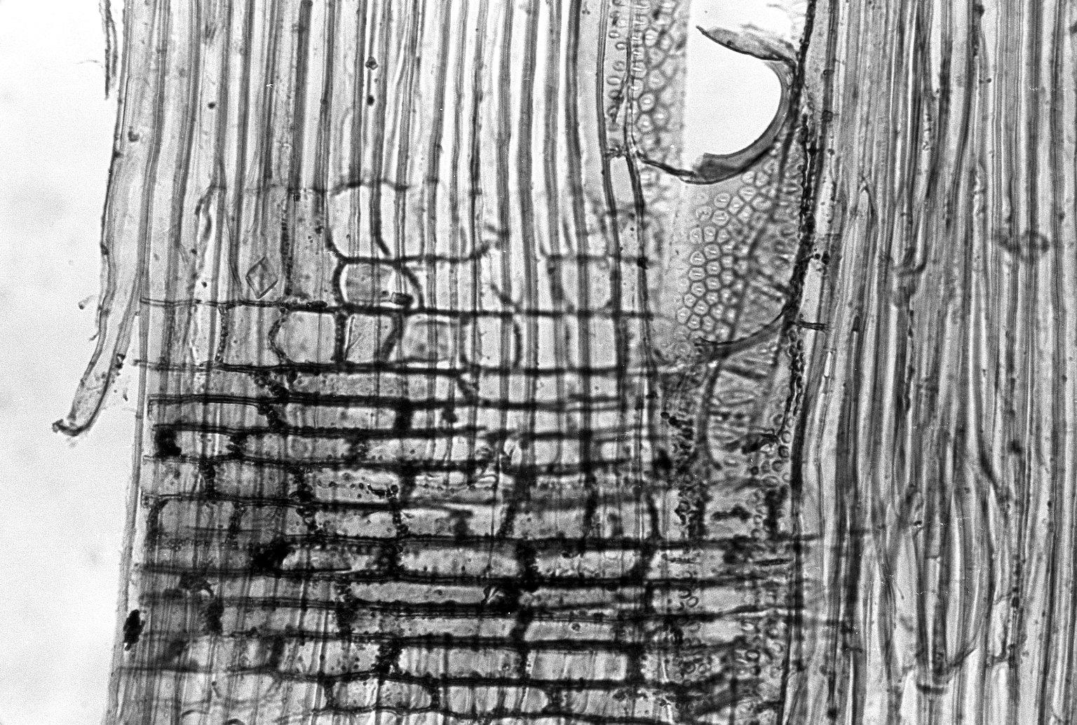 ANACARDIACEAE Rhus copallinum