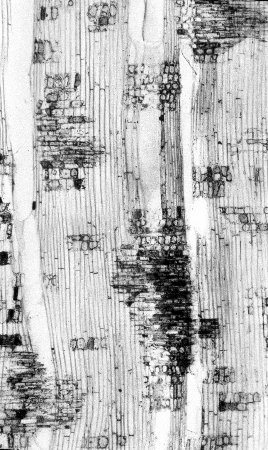 ELAEOCARPACEAE Sloanea australis