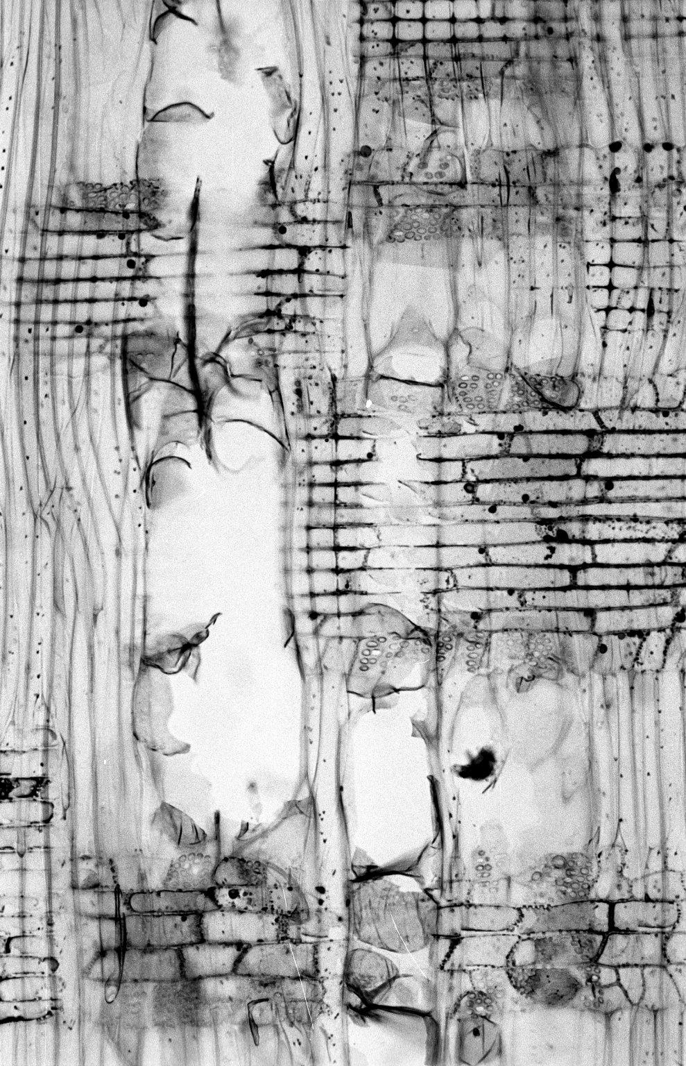NOTHOFAGACEAE Nothofagus antarctica