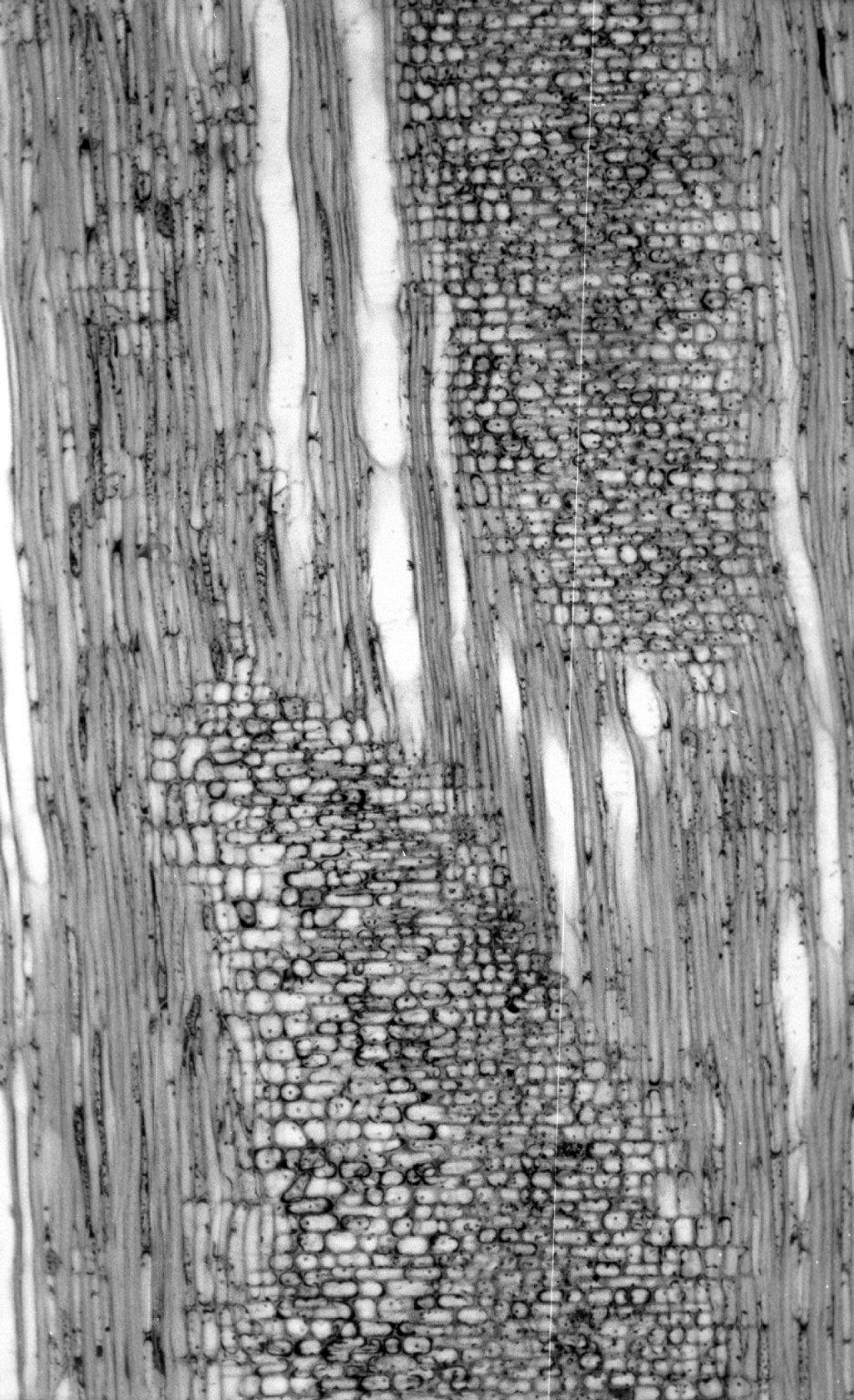GARRYACEAE Garrya elliptica