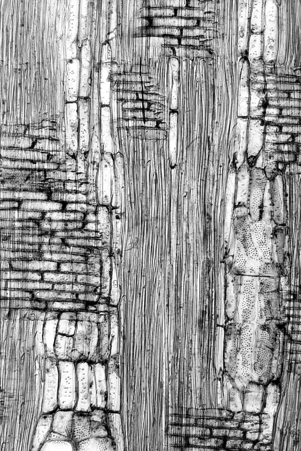 BIGNONIACEAE Amphitecna latifolia
