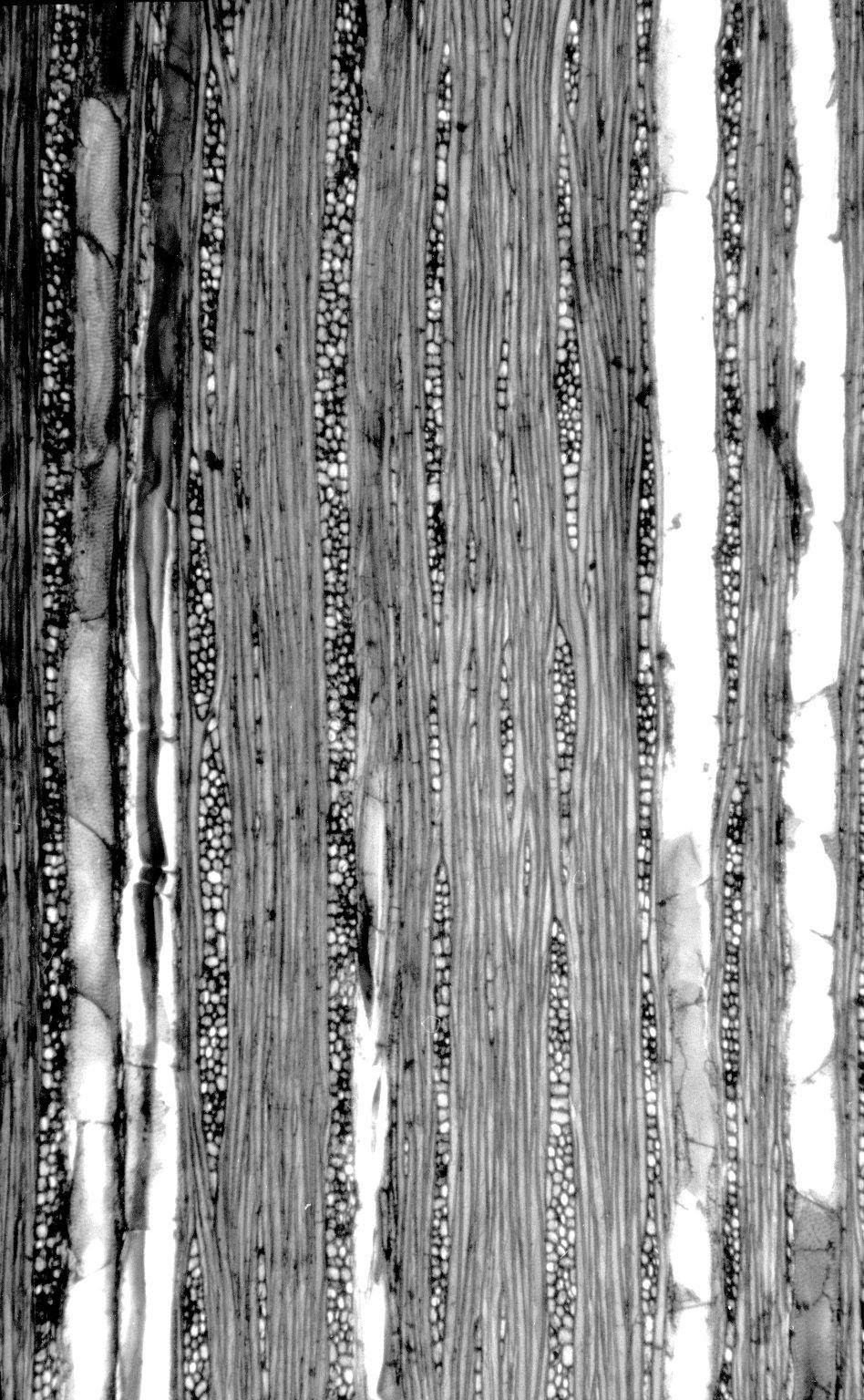 BIGNONIACEAE Fridericia patellifera