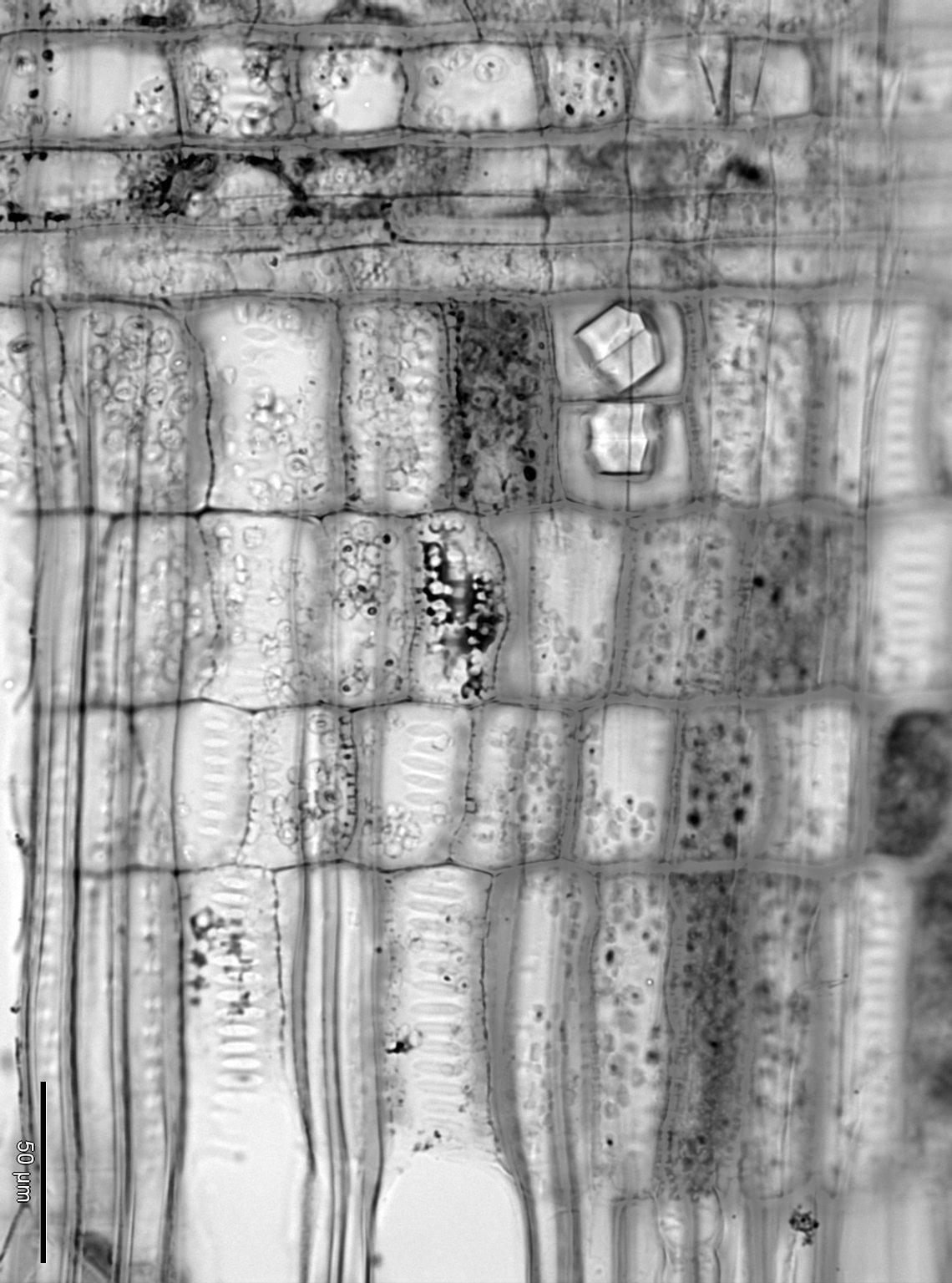 HAMAMELIDACEAE Corylopsis spicata