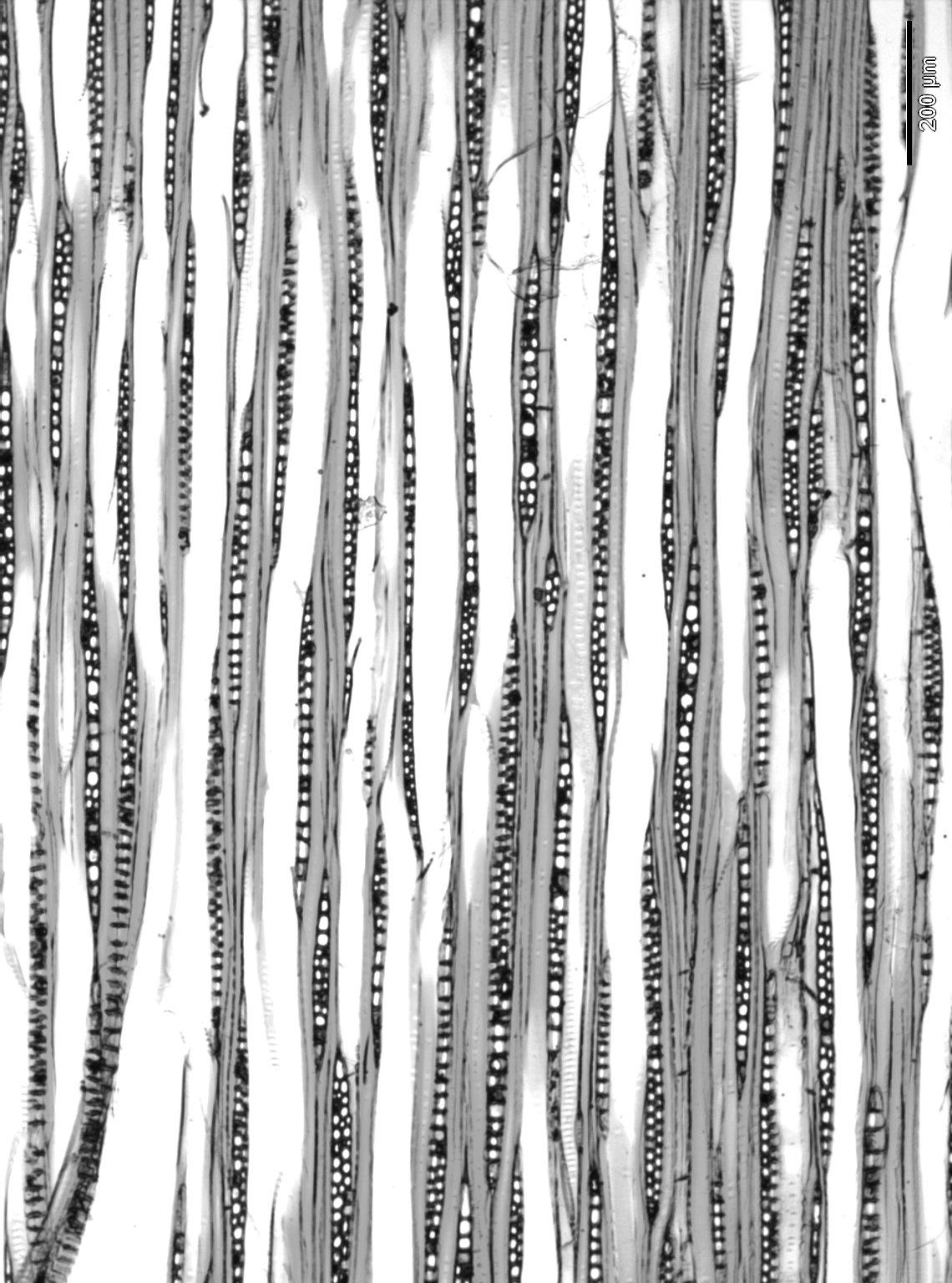 ALTINGIACEAE Liquidambar formosana