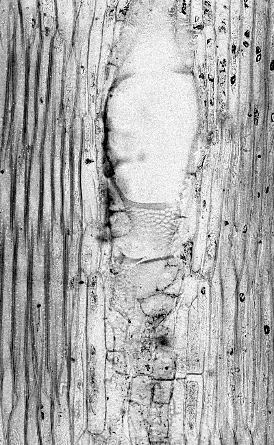 HERNANDIACEAE Gyrocarpus asiaticus